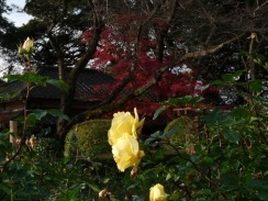 バラと紅葉