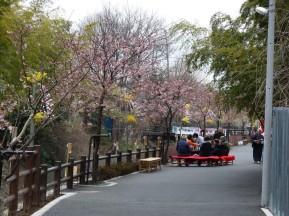川岸にそった河津桜