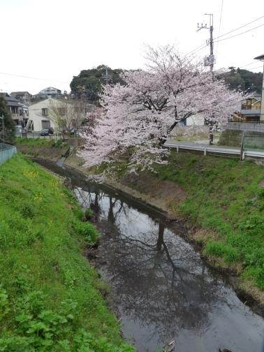 レンガ橋そばの桜