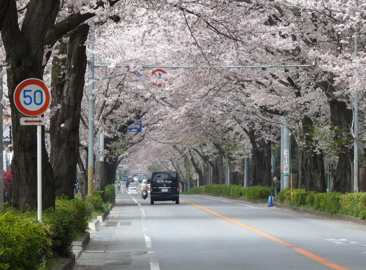 オススメ>桜のトンネル(八柱霊園そばのとおり)@千葉県松戸市