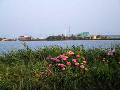 与田浦と紫陽花