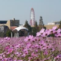 2012年が最後>コスモス里山祭り@千葉県印西市