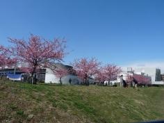 堤防の上の河津桜