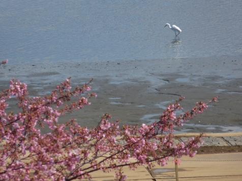 水辺の河津桜