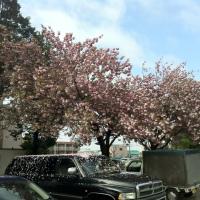化研病院の八重桜@千葉県松戸市