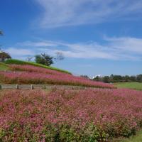 赤ソバの花が見ごろ@北総花の丘公園