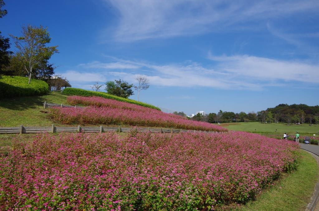 Summerfield84's Blog赤ソバの花が見ごろ@北総花の丘公園