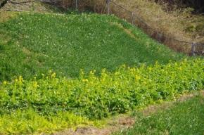 菜の花畑と見頃は、まだ先の水仙
