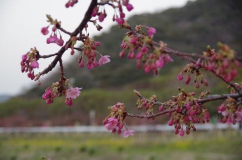 咲き始めた河津桜と対岸の菜の花