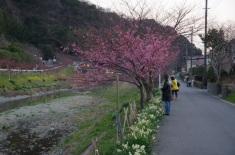 菜の花と河津桜と水仙
