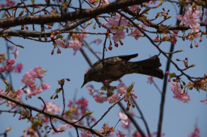 園内の河津桜にて