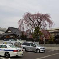やっぱり満開@東松戸の伝法寺