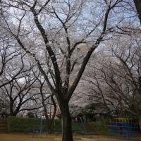 桜満開!@里見公園分園