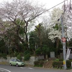 庚申塚の桜