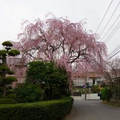 近所のお宅の枝垂れ桜