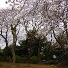 野菊苑の桜