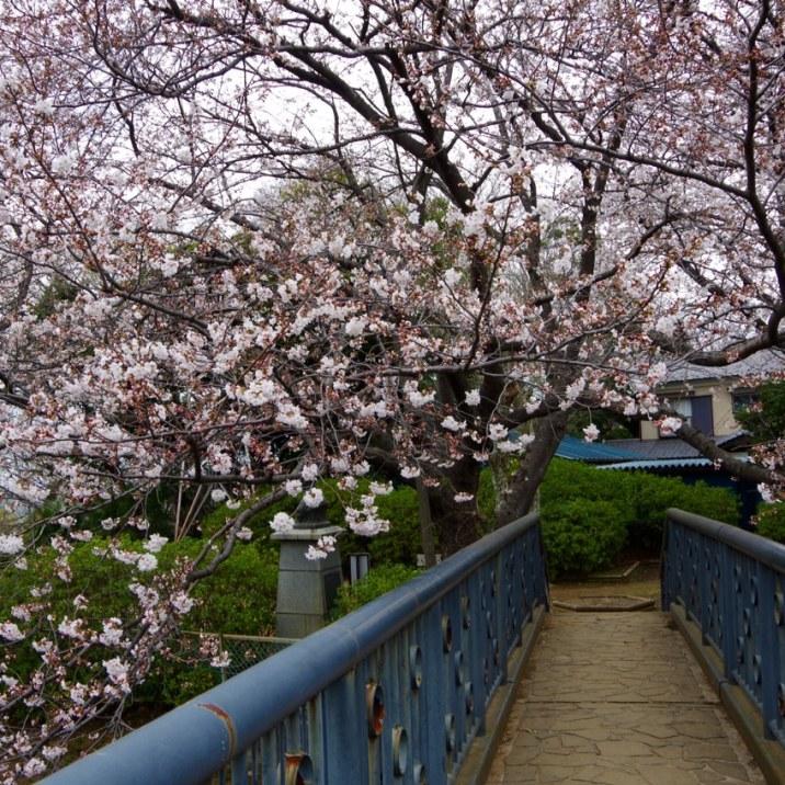 野菊歩道橋にて