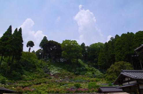 入道雲と斜面を埋め尽くす紫陽花