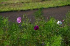 花よりつぼみのほうが多いです。