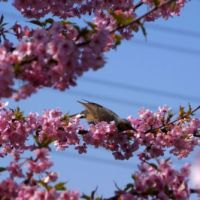 枝垂れ桜と河津桜@2014市川市東南部