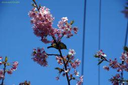 メジロ(?)と河津桜