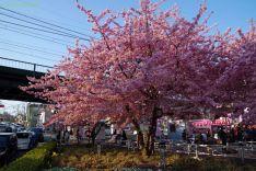 満開の河津桜と駅前の渋滞