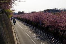 所々に葉桜になった木が