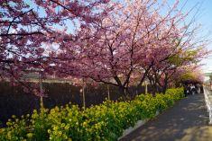 線路沿いの河津桜と菜の花