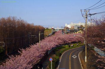 線路沿いの河津桜並木
