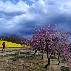 雲と枝垂れ梅と水仙