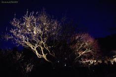 宵闇に映える梅