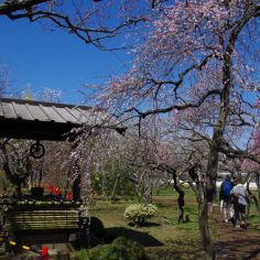 枝垂れ梅と井戸