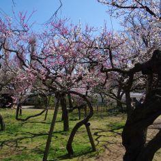 フリーダムに生長した梅の木
