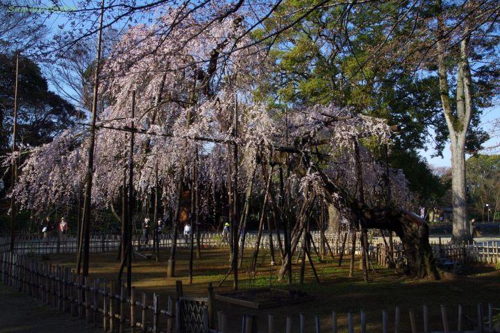 伏姫桜2014
