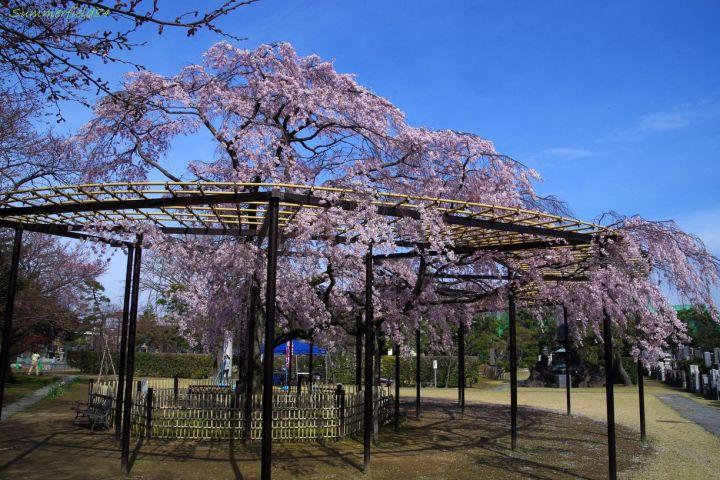 散り始めの原木山妙行寺の枝垂れ桜