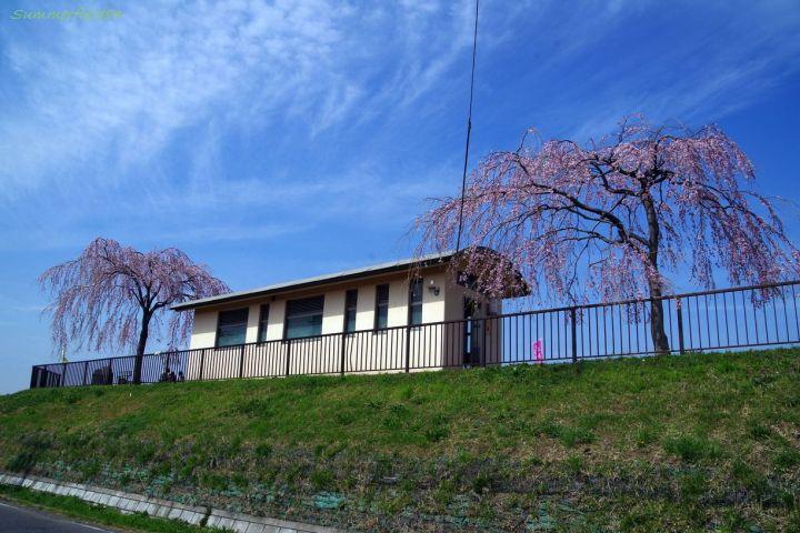 中川やしおフラワーパーク夫婦枝垂れ桜