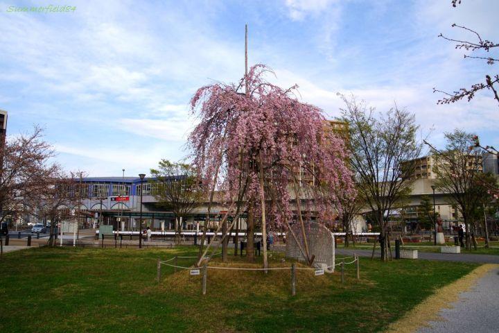 三郷中央駅前のべにしだれ桜