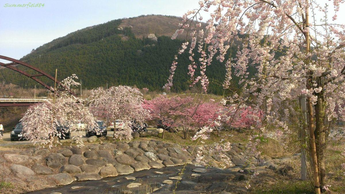 見頃だった桜2014@わたらせ渓谷鐡道沿線