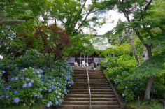 本堂と紫陽花