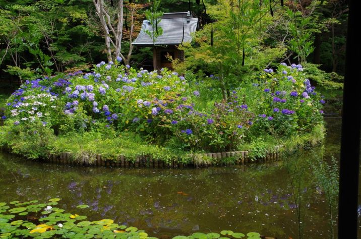 弁天池の逆さ紫陽花