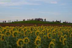 ひまわり畑から見た見晴らしの丘