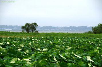 レンコン畑の向こうの霞ケ浦