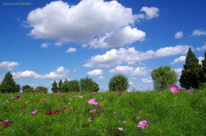 咲き始めのコスモスと青空