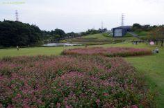 北総花の丘公園の高嶺ルビー(赤そば)