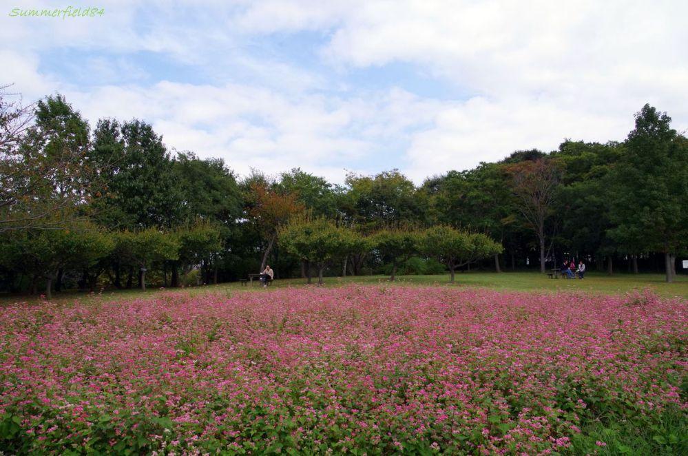 赤そばの花2014@北総花の丘公園 (2/6)