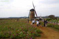 コスモスと風車