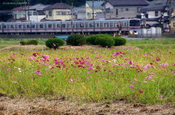 京成線とコスモス