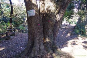 相生している二本の木、表皮の違いに注目