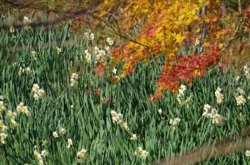 紅葉&黄葉&水仙
