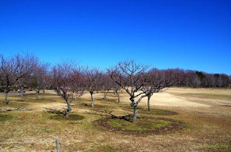 北総花の丘公園の梅園
